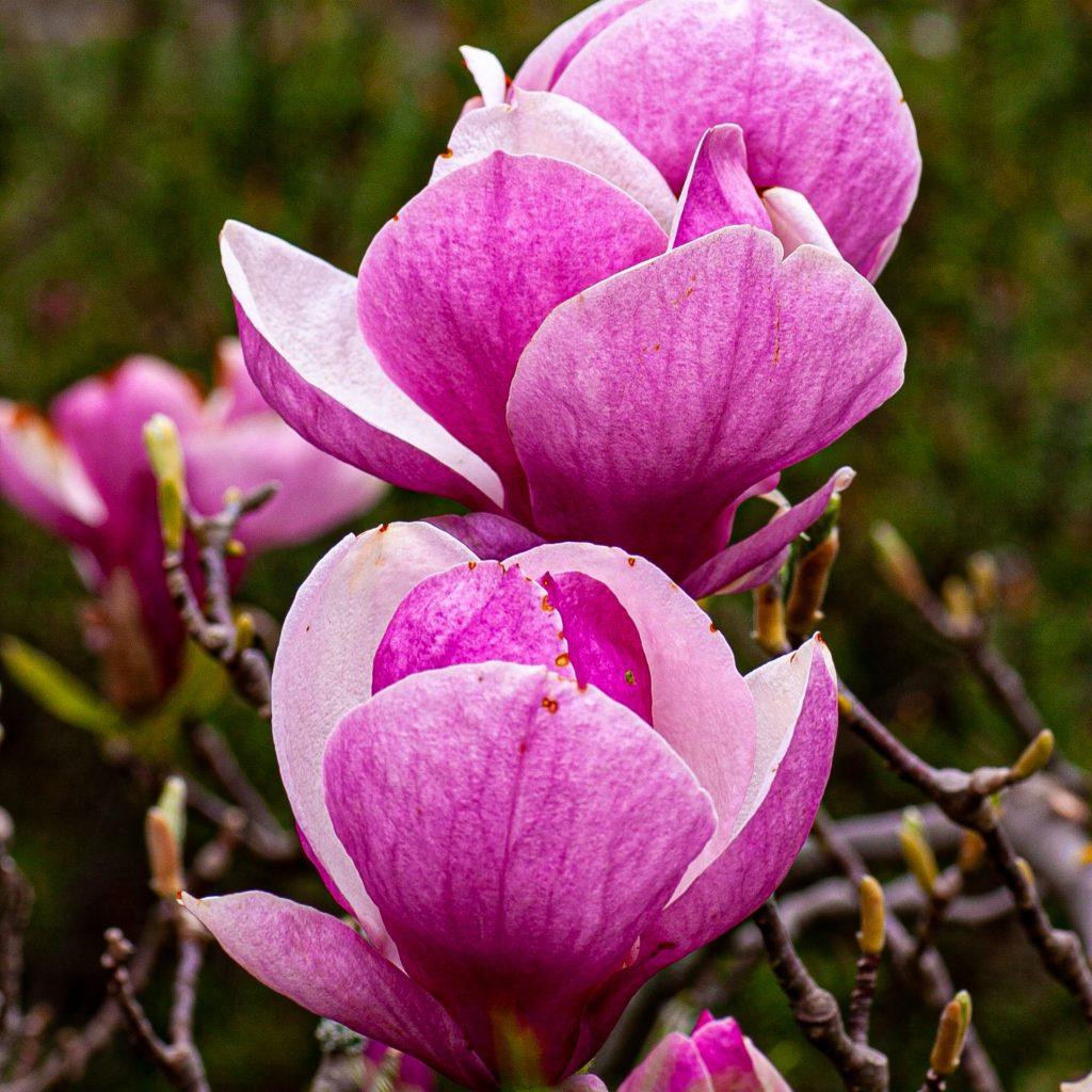 Wunderschöne Magnolien-Blüten im Setagaya-Park im Wien-Döbling, dem 19. Wiener Gemeindebezirk.